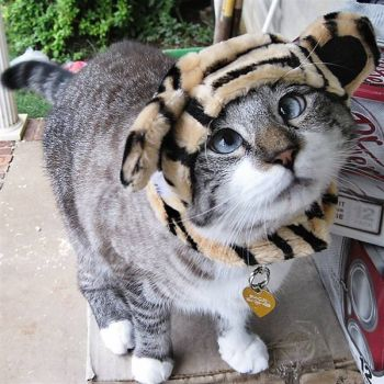 Cross Eyed Kitty as a Tiger