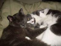 Cat Bromance -Mickey & Smudge