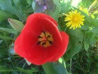 Washington wild tulip - they're everywhere, thanks to the squirrels!