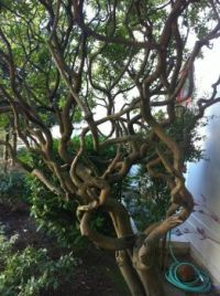 curvy bush