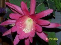 orchid cactus-2
