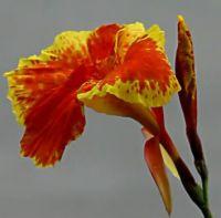 Yellow bordered beauty