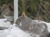 Gray and Red Squirrel's sharing the feed