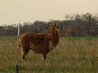 Local Llama