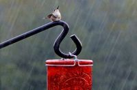 ruby-throated-hummingbird-in-the-rain