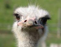 Theme: birds, Ostrich