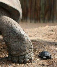 A baby Galapgos tortoise next to a parent.  He's only 3 months old, and he's kept seperately most of the time so he doesn't get