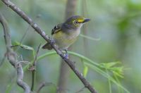 White-eyed Vireo by Greg Lavaty