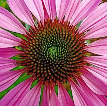 A purple coneflower daisy