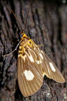 Two-spots Tiger Moth