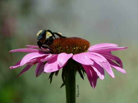 Purple Coneflower and friend