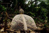mushroom-photography-101__880.jpg Phallus Indusiatus