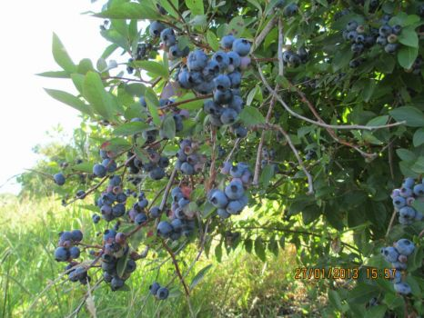 Blueberry Country (Waikato NZ)