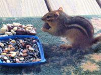 Ground Squirrel going for the Raisins... (3)
