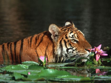Royal Bengal Tiger, Bangladesh