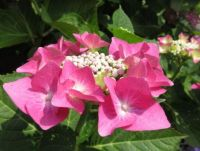 Hydrangea 'Lace' flower close up