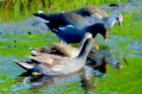 Family of Gallinules at Celery Fields