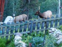 Visiting Elk