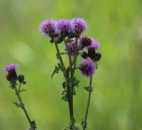 Thistle, aphids and an ant