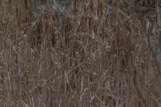 For Jim (jcarroll):  Find the Female Red-Winged Blackbird!