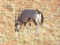 Oryx (Gemsbock) in South Africa
