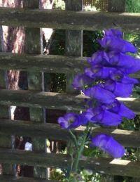 Blue monkshood Vancouver