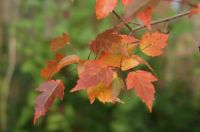 October maple