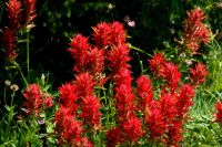 Indian Paintbrush Large