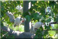 ibis in backyard tree preening