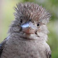 Blue-winged Kookaburra chick