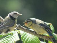 Young Bluetit being fed by parent