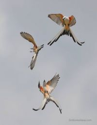 scissor-tailed flycatchers performing aerobatics