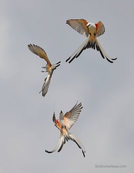 scissor-tailed flycatchers performing aerobatics