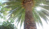 palm_tree_Redwood_City