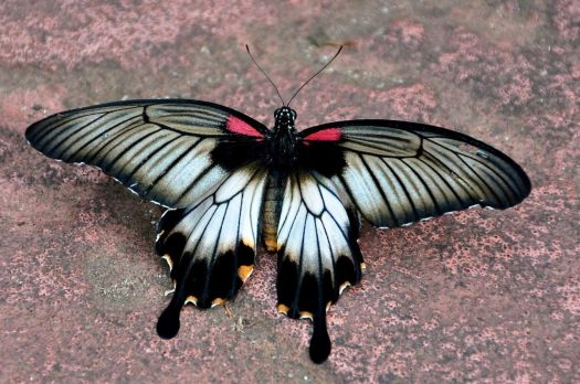 "1  ~  ""Asian Swallowtail"""