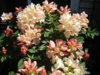 rhododendron (spelled right)