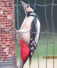 Female Greater Spotted Woodpecker collecting food