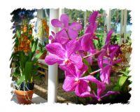 HI orchid