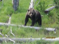 My first wild grizzly sighting