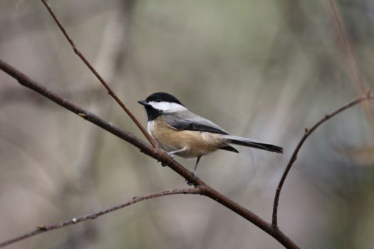Check out the Chickadee