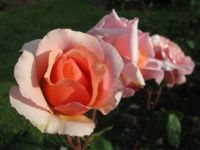 Vrtnica v Volčjem Potoku - A rose at Volčji Potok