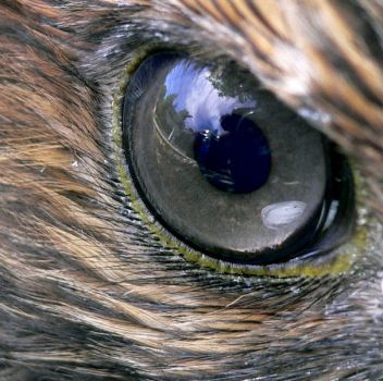 Eye of a Red-tailed Hawk.