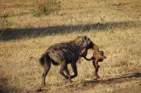 Scavenging hyena