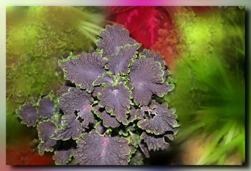 Coleus with an Art