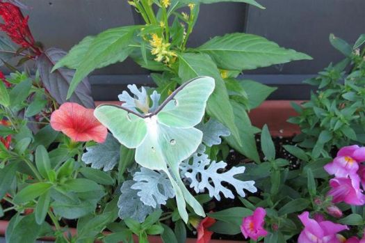 Beautiful Luna Moth