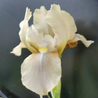 Miniature Dwarf Bearded Iris 'Grey Pearls'