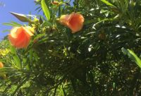 Arizona Flowering Tree