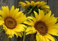 Mary Beth's Sunflowers