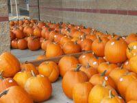 Pumpkins a'plenty, take your pick