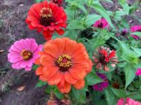 Zinnias still going in the garden...!